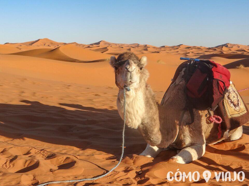Camello en el Desierto del Sahara